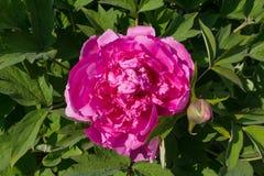 Purpurrote Pfingstrosenblumennahaufnahme beleuchtete durch die Sonne Stockfoto