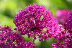 Purpurrote Pompoms Stockfoto