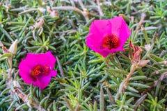 Purpurrote Portulaca-oleracea Blume Grandiflora in einem Garten Lizenzfreies Stockfoto