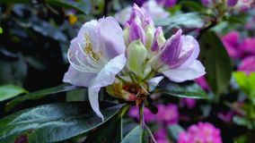 Purpurrote Rhododendronblumen im Garten Stockbilder