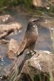 Purpurrote Rolle (Coracias naevius) Stockbild