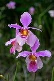Purpurrote rosa Orchidee im garden2 Stockbild