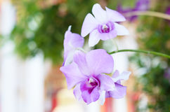 Purpurrote rosa Orchidee von Thailand Stockbilder