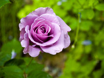 Purpurrote Rose Stockfotografie