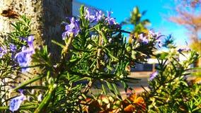 Purpurrote Rosemarie-Blüte lizenzfreie stockfotografie