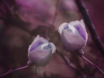 Purpurrote Rosen auf einem purpurrot-rosa Hintergrund nach einem Regen mit Wassertropfen Nahaufnahme Ausführliche vektorzeichnung Lizenzfreies Stockfoto