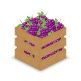 Purpurrote rote blaue Trauben in der hölzernen Kiste Lizenzfreie Abbildung