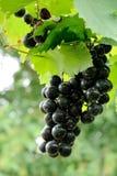 Purpurrote rote Trauben mit grünen Blättern auf der Rebe. Lizenzfreie Stockfotos