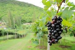 Purpurrote rote Trauben mit grünen Blättern auf der Rebe. Stockfotografie