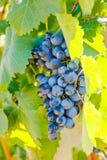 Purpurrote rote Trauben mit grünen Blättern auf der Rebe Lizenzfreie Stockfotografie