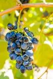 Purpurrote rote Trauben mit grünen Blättern auf der Rebe Lizenzfreie Stockbilder