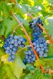 Purpurrote rote Trauben mit grünen Blättern auf der Rebe Stockfotos