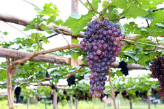 Purpurrote rote Trauben mit grünen Blättern auf der Rebe Lizenzfreies Stockfoto