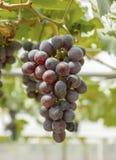 Purpurrote rote Trauben mit grünen Blättern auf der Rebe Stockbilder