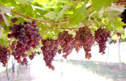 Purpurrote rote Trauben mit grünen Blättern auf der Rebe Frische Früchte Stockfotografie