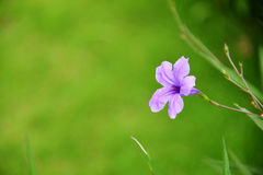 Purpurrote ruellia Blume Lizenzfreies Stockbild
