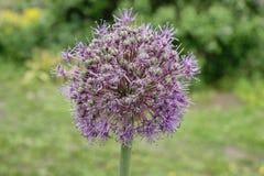 Purpurrote runde Blume Stockfoto