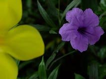 Purpurrote schöne Hintergrundtapete Ruellia-tuberosa Blume lizenzfreie stockfotos