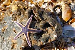 Purpurrote Starfish auf einem Felsen Lizenzfreie Stockbilder