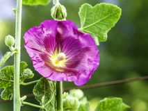 Purpurrote Stockrose, Alcea rosea stockfotos