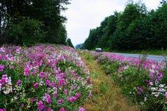 Purpurrote Straßenrandblumen des wilden Rosas auf Landstraße Stockbilder