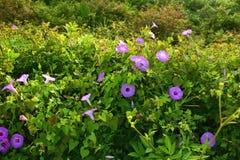 Purpurrote Strand-Blumen Stockfotos