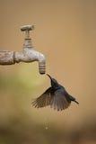 Purpurrote sunbird Getränke vom Tropfen Hahns des im Freien Lizenzfreies Stockbild