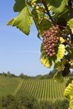 Purpurrote Trauben auf Weinberg Stockbild