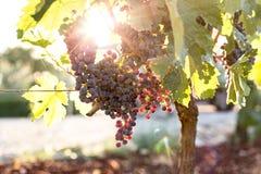 Purpurrote Trauben im französischen Weinberg Lizenzfreie Stockfotos