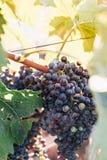 Purpurrote Trauben im französischen Weinberg Lizenzfreie Stockfotografie