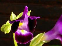 Purpurrote tropische Blume Stockfotografie
