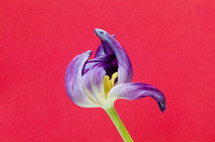 Purpurrote Tulip Cerise Background Lizenzfreie Stockfotos