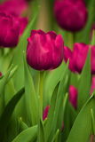 Purpurrote Tulpe stockbild
