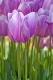 Purpurrote Tulpe Stockfotos