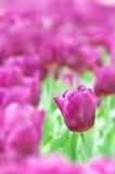 Purpurrote Tulpe Lizenzfreie Stockfotografie