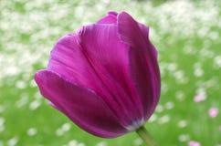 Purpurrote Tulpe Stockfoto