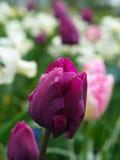 Purpurrote Tulpe lizenzfreie stockfotos