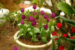 Purpurrote Tulpe im Blumentopf Stockbild