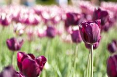 Purpurrote Tulpe in Indien Stockfotos