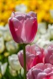 Purpurrote Tulpe unter der Sonne lizenzfreies stockfoto