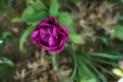 Purpurrote Tulpe von oben Stockfotografie