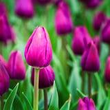 Purpurrote Tulpen Stockfotografie