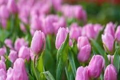 Purpurrote Tulpen lizenzfreie stockfotografie