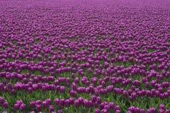 Purpurrote Tulpen lizenzfreie stockbilder