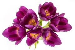 Purpurrote Tulpen Lizenzfreies Stockfoto