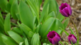 Purpurrote Tulpen stockbild