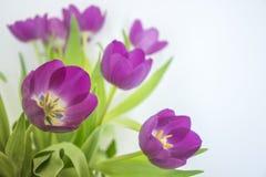 Purpurrote Tulpen auf weißem Hintergrund Stockfotografie