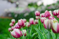 Purpurrote Tulpen in der Show lizenzfreies stockbild