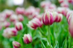 Purpurrote Tulpen in der Show stockbild