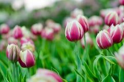 Purpurrote Tulpen in der Show lizenzfreie stockbilder